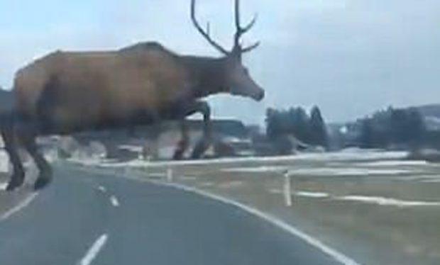 Hej, prit! Po fluturon një dre mbi makinë (VIDEO)