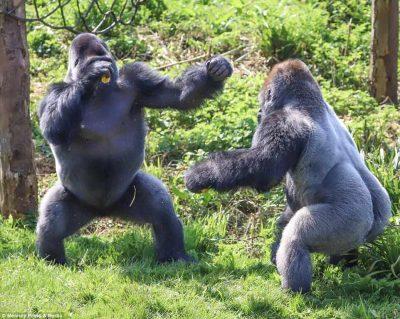 """""""Ndeshje boksi"""" midis gorillave (FOTO)"""