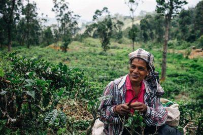 Historia 150-vjeçare, pamje të pabesueshme nga mbledhja dhe përgatitja e çajit më të famshëm në botë (FOTO)