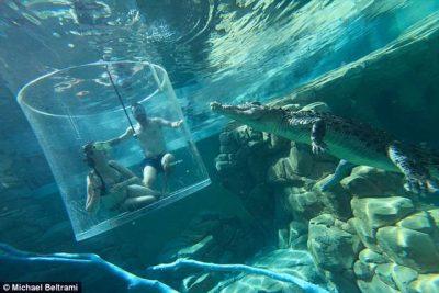 Propozim i çmendur, mes krokodilëve: Për pak desh shkoi tmerrësisht keq! (FOTO)