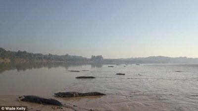 """Dhjetëra krokodilë vdekjeprurës """"marrin rreze"""" në bregun e lumit (VIDEO)"""