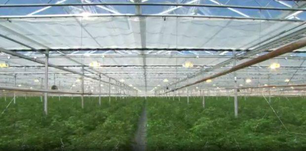 VIDEO/ Brenda fermës më të madhe të kanabisit në botë