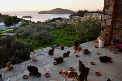 Njoftimi i çuditshëm në Greqi/  Kërkohet një person që të përkëdhelë 55 mace (Foto)