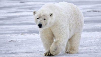Një gjuetar humbi jetën dhe 2 të tjerë u lënduan, u sulmuan nga një ari polar