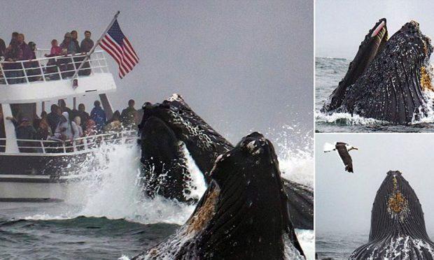 DHURON SPEKTAKËL/  Balena 40 tonëshe del në sipërfaqe (FOTO)