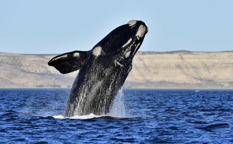 1600 balena zbulohen në brigjet e Gadishullit Valdés, numri më i madh që prej 1999