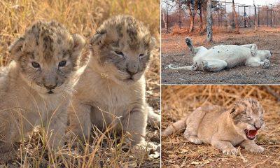 Lindin këlyshët e parë të luanëve nga mbarsja artificiale