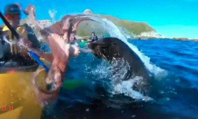 SITUATË E PAZAKONTË/ Voziste me kajak, foka i hedh në fytyrë oktapodin gjigant (VIDEO)