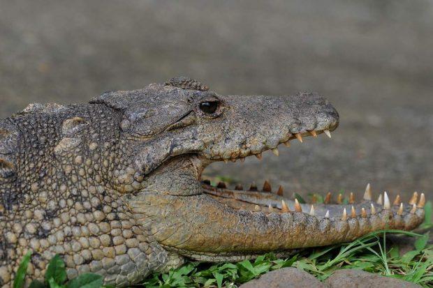 Krokodili ha gruan me fëmijën e saj të vogël, dëshmitë shokuese: Nuk bëmë dot asgjë