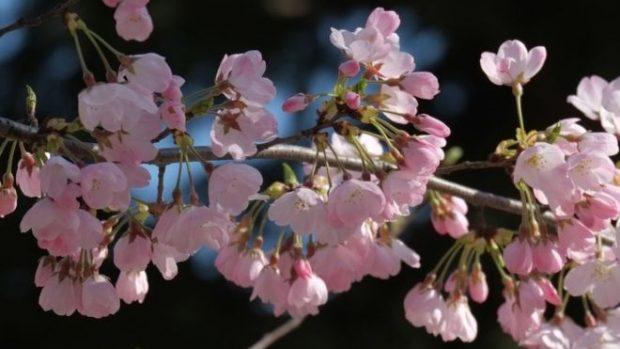E PAPRITUR! Lulëzojnë qershitë në Tetor e shkak bëhet ky fenomen