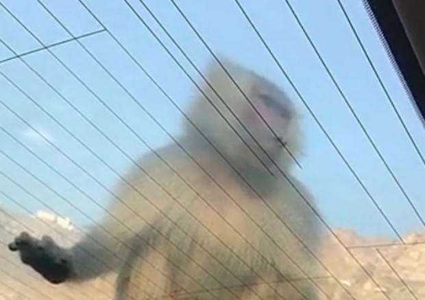 """INCIDENT I PAZAKONTË/ Majmunët """"pushtojnë"""" Universitetin e Femrave (VIDEO)"""