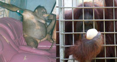 E TMERRSHME/ Orangutangu përdoret si skllave seksuale për vite, pagesat për seks me të
