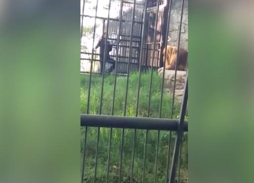 PAMJE TRONDITËSE/ Burri i dehur tenton të prekë luanin, ai i kafshon dorën (VIDEO)