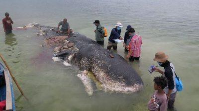 E TRISHTË/ Gjendet e ngrodhur balena me 115 gota plastike në stomak