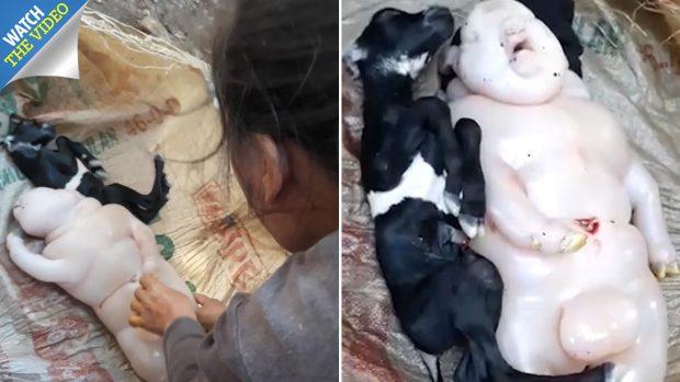 """""""KRIJESA E PAZAKONTË""""/ Dhia lind një """"gjysmë derr dhe gjysmë njeri"""" (VIDEO)"""