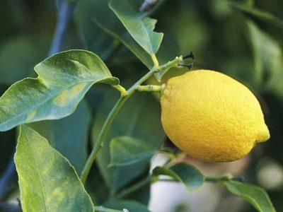 Gjethet e limonit/ Zgjidhja natyrale për problemet me fytin, migrenën dhe astmën