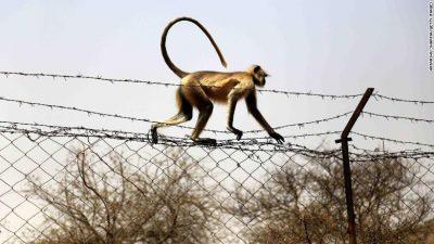 E RRALLË/ Majmuni vret foshnjen 12-ditëshe në Indi