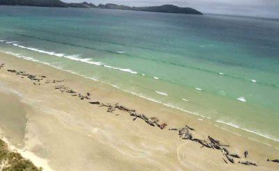 E TRISHTË/ 150 balena pilot ngordhin në brigjet e Zelandës së re (VIDEO)