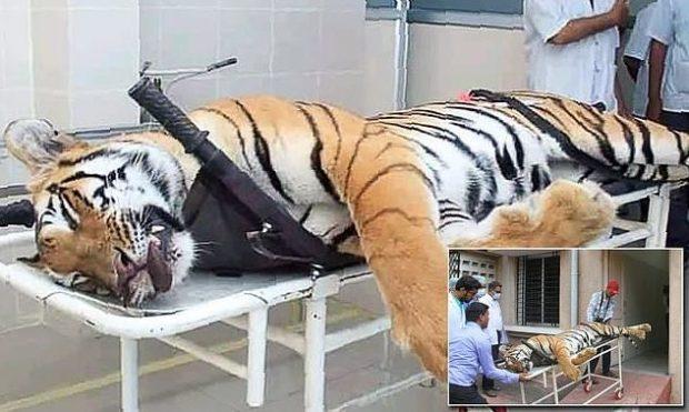 """E PA DËGJUAR MË PARË/ Parfumi i Calvin Klein """"vret"""" tigrin në Indi (FOTO)"""