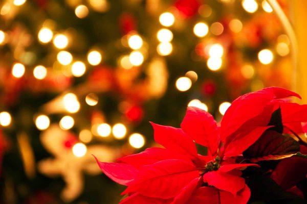 """""""POINSETTIA""""/ 4  këshilla si të kujdeseni për lulen e Krishtlindjeve që mos vyshket"""
