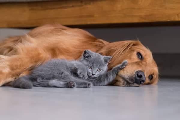 Pse macet janë kafshë shtëpiake më të mira se qentë?