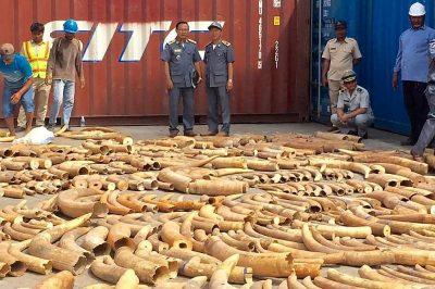 E PABESUESHME/ Kapen 3.2 ton brirë elefantësh, po kontrabandoheshin me anije