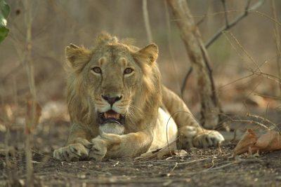 E FRIKSHME/ Kapërceu murin e kopshtit zoologjik, hahet nga luani