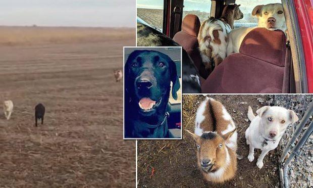 MENDUAN SE E HUMBËN/ Qeni gjen rrugën për në shtëpi, ndihmohet nga një dhi (VIDEO)