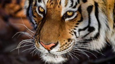 SHKOI TË TYMOSTE KANABIS/ Tronditet kur sheh tigrin para syve