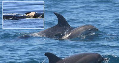 NUK I JEPTE DOT LAMTUMIRËN/ Delfin mban foshnjën e ngordhur me vete