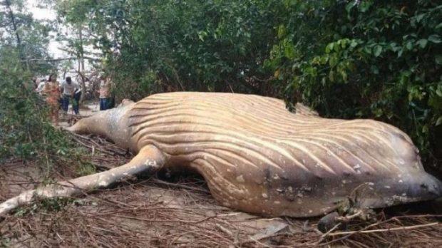 E PAZAKONTË/ Një balenë rreth 8 metra gjendet në një pyll në Brazil