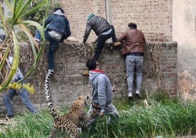 SULMOI 6 NJERËZ/ Leopardi shkakton kaos në qytet (VIDEO)