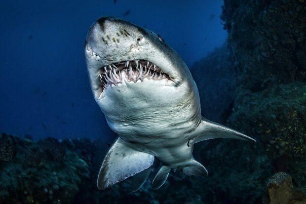 SHKENCËTARËT GJEJNË ÇELËSIN E KANCERIT/ Sekreti fshihet tek peshkaqeni i bardhë