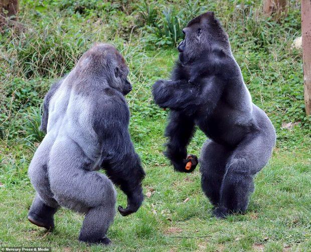 """""""MOS U BËJ KOPRAC""""/ Kur gorilla i """"lutet"""" gorillës për një… karrotë"""