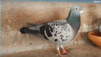 KUSHTON 1.4 MILIONË DOLLARË/ Njihuni me pëllumbin më shtrenjtë në botë (VIDEO)