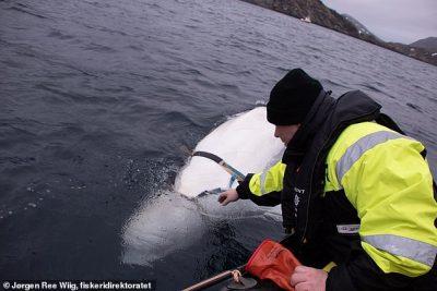 RUSIA PËRDOR BALENËN PËR TË SPIUNUAR/ Zbulohet nga peshkatarët (VIDEO)