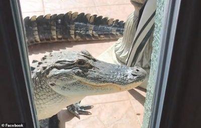 """GRUAJA NË SHTËPI FRIKËSOHET PËR VDEKJE/ I """"trokiti"""" aligatori rreth 2 metra në derë (VIDEO)"""