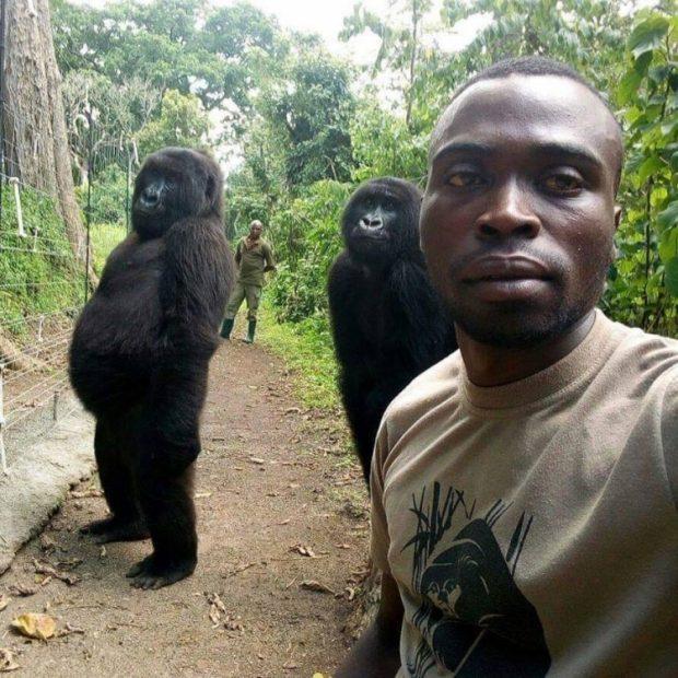JO VETËM NJERËZIT/ Leksione nga gorillat, ja si të bësh një selfie (FOTO)