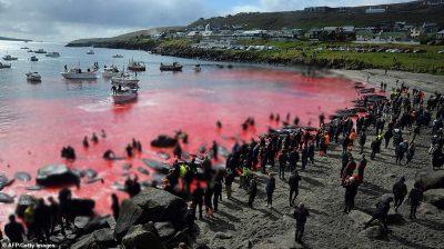 DETI KTHEHET I KUQ/ Banorët e ishullit vrasin 200 balena dhe 40 delfinë për mish (FOTO)