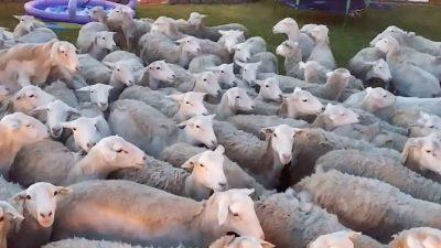 TMERROHEN FAMILJARËT/ Qindra dele u pushtojnë oborrin e shtëpisë ((VIDEO)