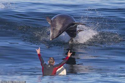 PAMJE TË MREKULLUESHME/ Sërfisti surprizohet nga delfinët