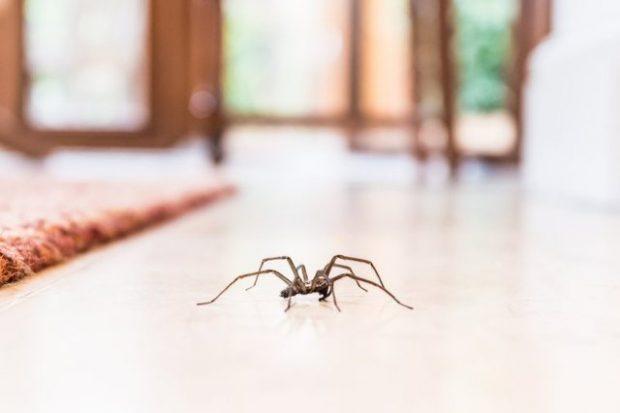 FLASIN EKSPERTËT/ Ja pse nuk duhet t'i vrisni kurrë merimangat në shtëpi