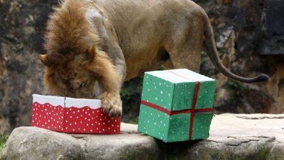MOMENTET ARGËTUESE/ Kafshët marrin dhurata për Krishtlindje (FOTO)