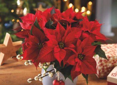 LAJMËTARJA E FESTËS/ Çfarë duhet të dini patjetër para se ta blini lulen e Krishtlindjeve